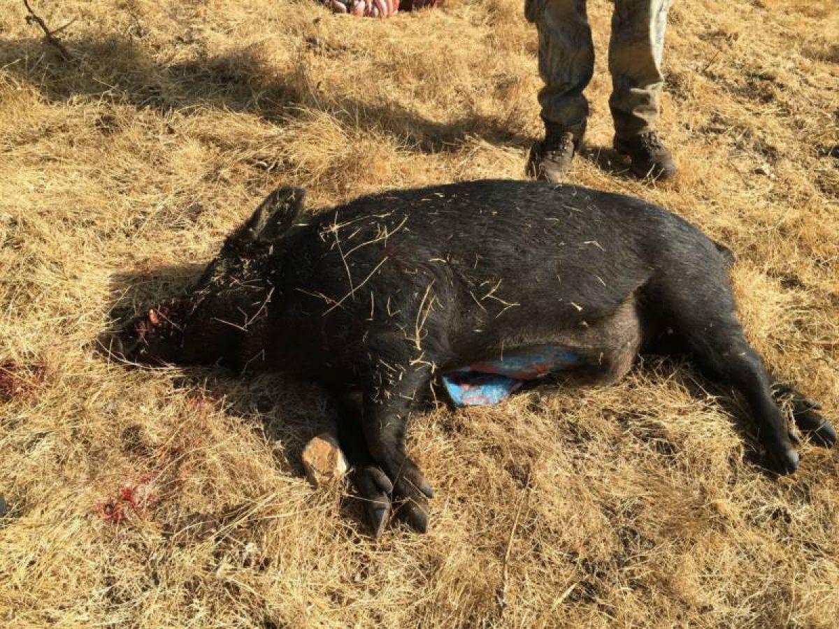 Жители Северной Калифорнии поймали дикого кабана с голубыми внутренностями