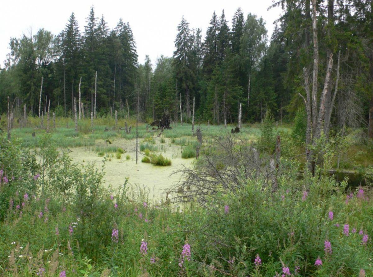 Череповецкие болота – мистика или природная аномалия