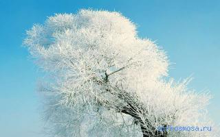 Дерево сонник
