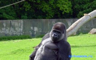 К чему снится горилла женщине
