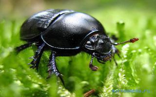 Фото Сонник зеленый жук