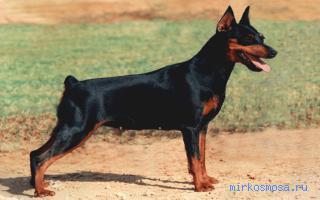 Сонник верхом на собаке фото