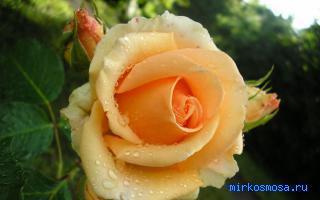 увядшие роза фото