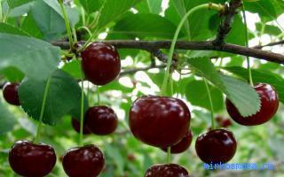 ягодами снится чему с вишневое к дерево