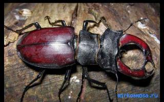 Сонник жук рогач фото