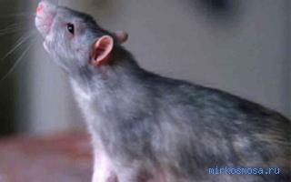 сонник толкование белая крыса