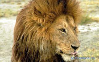 Видеть во сне львов