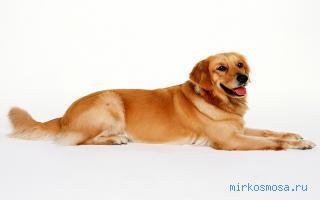 К чему снится рыжая собака Сонник расскажет