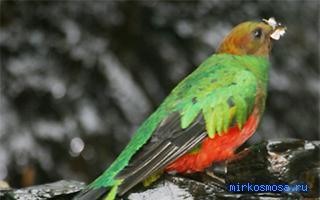 Птица сонник