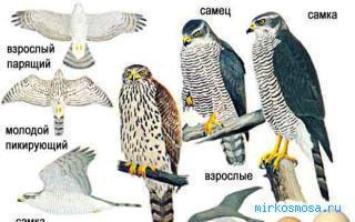 Коршун — Сонник Шиллера-Школьника