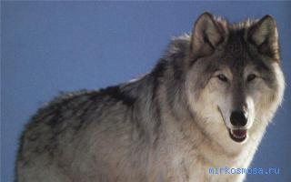 к чему снится вой волка во сне для женщины