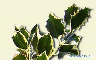 К ветви чему зеленые снятся
