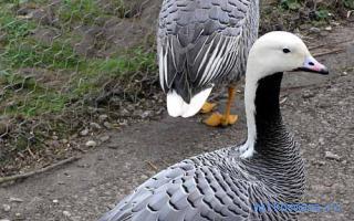 К чему снится когда нападают гуси