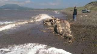 На остров Сахалин волны принесли тело динозавра