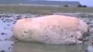 Неизвестное животное обнаружили на берегу в Японии после цунами