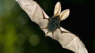 На Земле появился новый «SARS» вирус, переносчиками которого оказались летучие мыши
