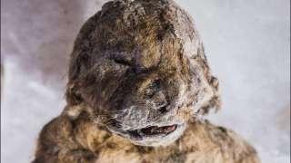 Ученые из Якутии будут клонировать пещерных львов