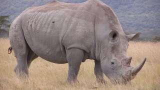 В мире осталось всего 3 белых носорога