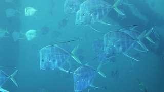 Ученые выяснили, почему рыбы становятся невидимыми, когда погружаются в глубины открытого океана