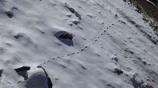 Тропу снежного человека нашли в Гималаях