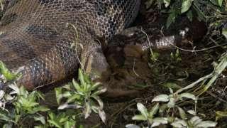 В Бразилии нашли самую крупную анаконду