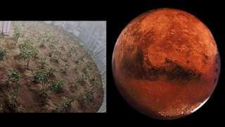 Ученым удалось вырастить картофель в марсианских условиях