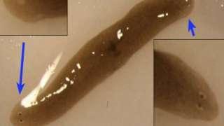 Ученые привезли c МКС на Землю двухголового червя-мутанта