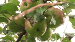 Тамбовские яблоки отправят в космос