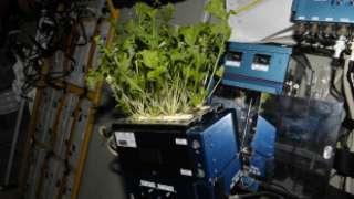 Космонавты на МКС выращивают и поедают свежий салат