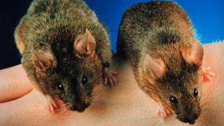 Миостатин помог мышам не потерять мышечную массу в условиях космоса