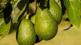 На Марсе планируют выращивать  авокадо
